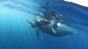 Tenderness of humpback whale calf with mother underwater ocean.