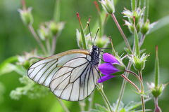 Tenderness. Warm summer day. Butterfly with delicate translucent wings collects nectar on a flower field geranium Royalty Free Stock Photos