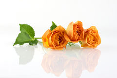 Tenderness and warmth. Beautiful orange roses with reflection, white background Royalty Free Stock Images