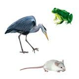 Tendez le cou l'oiseau, souris blanche, grenouille verte, Grey Heronn Image stock