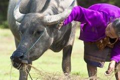 Tending a buffalo Stock Photo