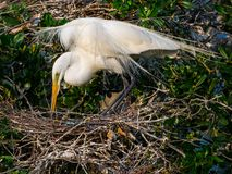 Tending her Blue Eggs. A great white egret tending her blue eggs in the nest with its breeding plumage spreading above Stock Images