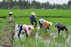 Tending Rice Plants Stock Photo