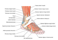 Tendons of the foot. Tendons and muscles of the foot and ankle, including the bones, attachments and retinaculae. Created in Adobe Illustrator. Contains royalty free illustration
