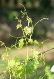tendril Royaltyfria Bilder