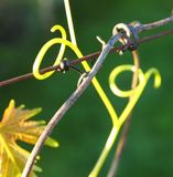 Tendril Photographie stock