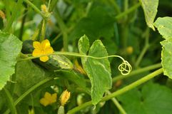 Tendril of cucumber Royalty Free Stock Photography