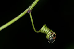 Tendril da planta tropical Foto de Stock