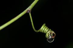Tendril de la planta tropical foto de archivo