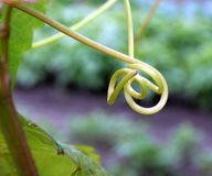 Tendril Stock Image
