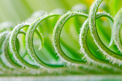 Tendril of plant Royalty Free Stock Photo