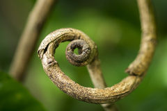 Tendril of tree Royalty Free Stock Images