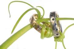 Tendrils verdes em torno de duas faixas de casamento fotografia de stock