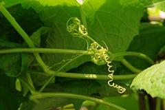 Tendrils of vine vegetable in cucurbits. Vine plant Stock Images