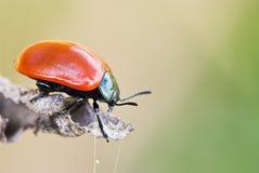 (Tenebricosa de Timarcha) coléoptère flairé sanglant Photographie stock