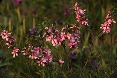 Tenella Prunus alluvium στοκ εικόνες με δικαίωμα ελεύθερης χρήσης
