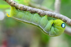 Tenencia de Caterpillar Fotografía de archivo libre de regalías