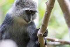 Tenencia del mono de Sykes sobre rama de árbol fotografía de archivo