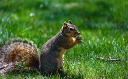Tenencia mullida de la ardilla, comiendo una nuez, cacahuete Fondo de la hierba verde Foto de archivo libre de regalías