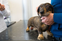 Tener miedo para el veterinario Foto de archivo libre de regalías