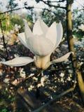 Tenerezza pura   fiore bianco della magnolia fotografia stock libera da diritti
