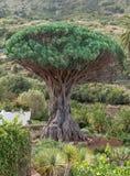 Tenerife - árvore de dragão em Icod de los Vinos imagens de stock