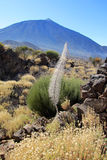 Tenerife - El Teide (Shrub & flowers of aloe vera) Royalty Free Stock Images