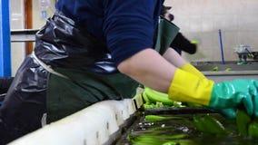 Tenerife, España - 3 de enero de 2019: El lavado del operador agrupa de plátano en la planta de empaquetado almacen de video