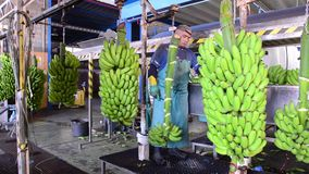 Tenerife, España - 3 de enero de 2019: Operador que corta las ramas verdes del plátano en la industria de empaquetado del plátano almacen de video