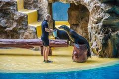 TENERIFE, ESPAÑA - DICIEMBRE DE 2012: Sirva el lobo marino de alimentación en Loro Parque el 6 de diciembre de 2012 Imagen de archivo