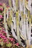 Tenerife flora Royaltyfria Bilder