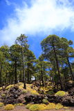 Tenerife forest landscape on teide Royalty Free Stock Photography