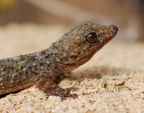 Tenerife τοίχος Gecko Στοκ εικόνες με δικαίωμα ελεύθερης χρήσης