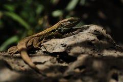 Tenerife Lizard (Gallotia Galloti Eisentrauti) Stock Image