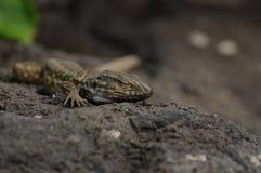Tenerife Lizard (Gallotia Galloti Eisentrauti) Royalty Free Stock Image