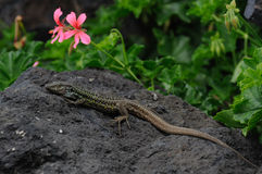 Tenerife Lizard (Gallotia Galloti Eisentrauti) Stock Photos