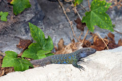 Tenerife lizard Royalty Free Stock Photo
