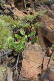 Tenerife natur och flora Arkivfoto