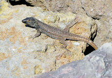 Tenerife nature - close view of a lizard. Spain Stock Photography