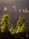 Tenerife Pines Stock Images
