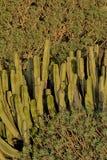 Tenerife, scena wokoło Playa Colmenares, kaktusy i krajobraz, zdjęcia royalty free