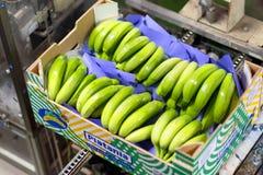 Free Tenerife, Spain - January 3, 2018 : Banana Box Full Of Ripe Green Banana In Packaging Line In Tenerife, Canary Islands Stock Images - 142614864
