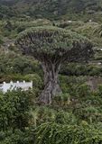 Teneriffa 2010. 1000 year old dragon tree at the city of Icod de los Vinos Royalty Free Stock Images