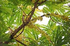Tenez le premier rôle la groseille à maquereau ou la groseille à maquereau d'Otaheite, petite baie jaune comestible Images stock
