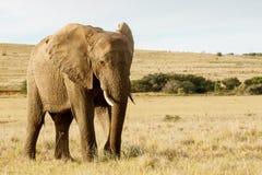 Tenez-vous et laissez prendre à une photo de moi - l'éléphant africain de Bush photographie stock libre de droits
