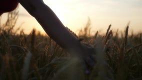 Tenga la vostra mano sopra il grano dorato al tramonto, con l'effetto della lente HD, 1920x1080 Movimento lento stock footage