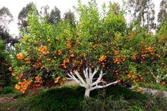 tengerine drzewo Zdjęcia Royalty Free