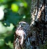 Tengmalm's owl (Aegolius funereus)  Royalty Free Stock Photography