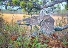Tengmalm's owl near nest. Tengmalm's owl (Aegolius funereus) near nest. Protection of offspring and aggressive behavior. Boreal coniferous forest (taiga Stock Image