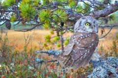 Tengmalm's owl near nest. Tengmalm's owl (Aegolius funereus) near nest. Protection of offspring and aggressive behavior. Boreal coniferous forest (taiga Royalty Free Stock Images